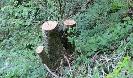 Abb. 7: Auswirkung der Hangbewegung auf die Bäume