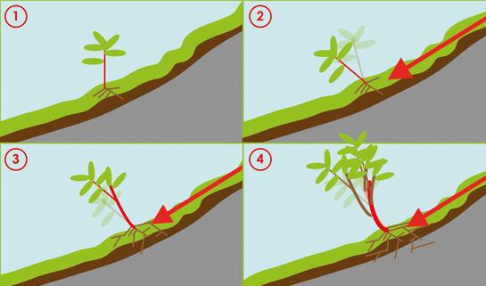 Abb. 8: Jungpflanzen werden durch die Hangbewegung aus ihrer Vertikalstellung gedrängt.