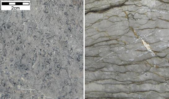 Abb. 5: Muscheln und Schnecken im massiven Schrattenkalk (links) und Tonhäute im Seewenkalk (rechts)