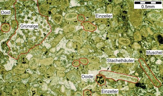 Abb. 6: Mikroskop-Bild eines Schrattenkalks