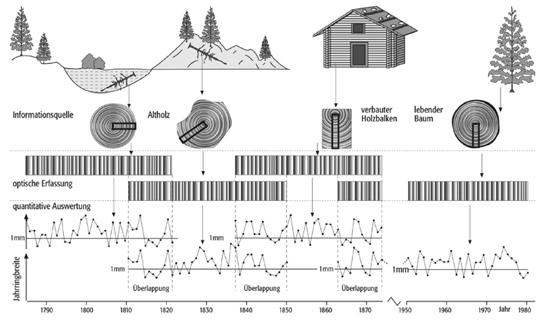 Abb. 7: Klimarückschlüsse mit Hilfe der Dicke von Baumjahrringen